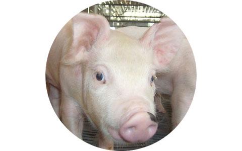 Stateler Family Farms: Pig farming methods